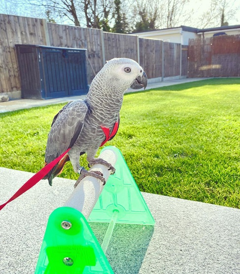african grey parrots for sale 1